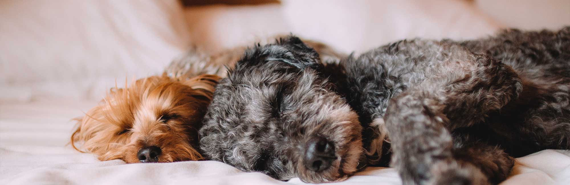 pet friendly hotels in tampa - 2 dogs napping on bed